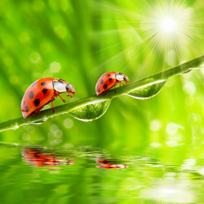 Ladybugs Closeup Drops Rays of light Two Animals wallpapers wallpaper
