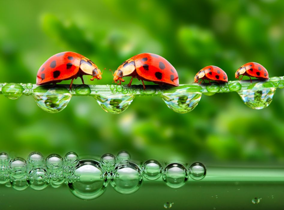 Ladybugs Drops 4 Animals wallpapers g wallpaper