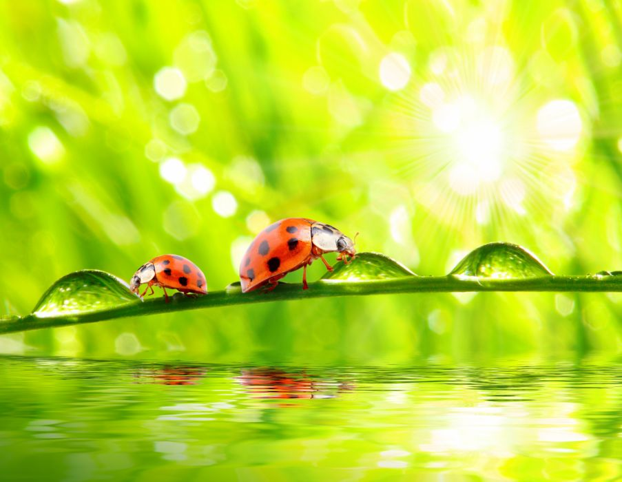 Ladybugs Closeup Water Drops Two Animals wallpapers wallpaper