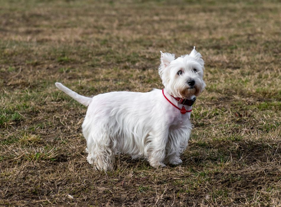 Dogs West Highland White Terrier White Animals wallpapers wallpaper
