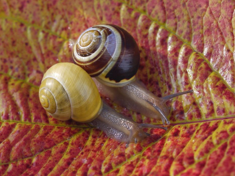 Snails Closeup Foliage Two Animals wallpapers wallpaper