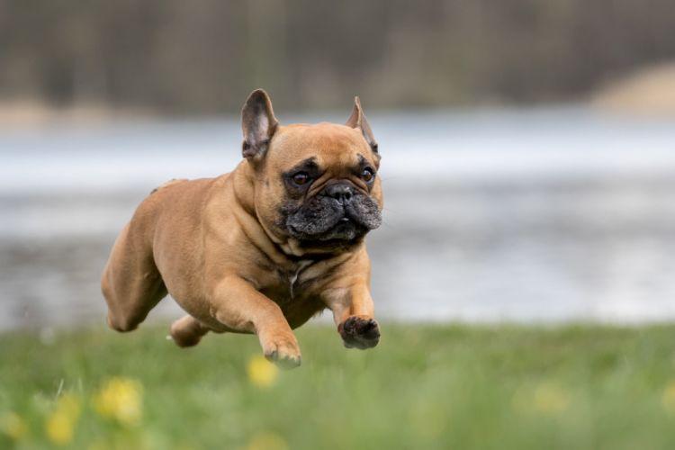Dogs Run Jump Bulldog french Animals wallpapers wallpaper