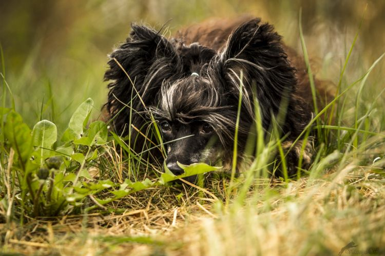 Dogs Chinese Crested Grass Black Animals wallpapers wallpaper