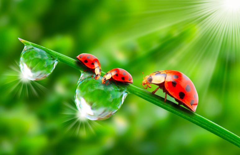 Ladybugs Drops Three 3 Rays of light Animals wallpapers g wallpaper