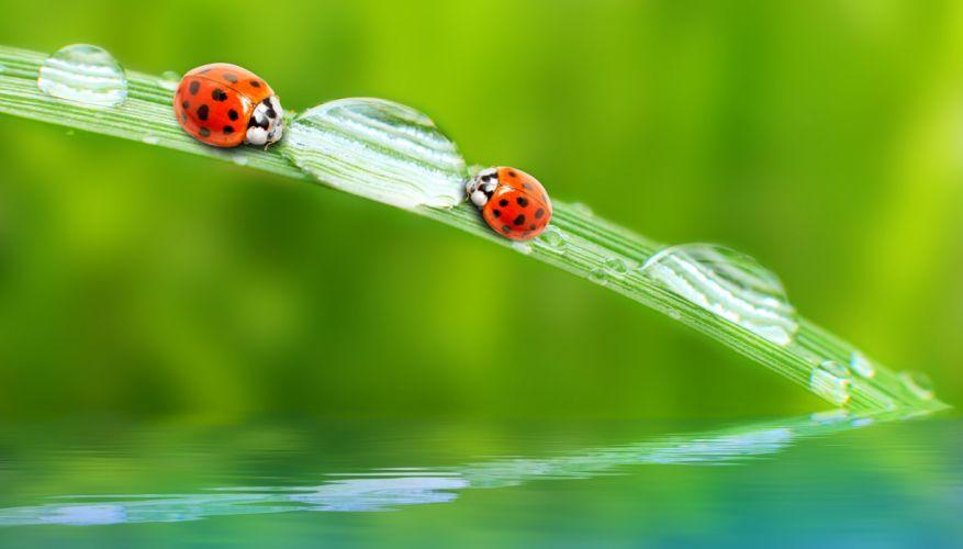 Ladybugs Drops Animals wallpapers wallpaper