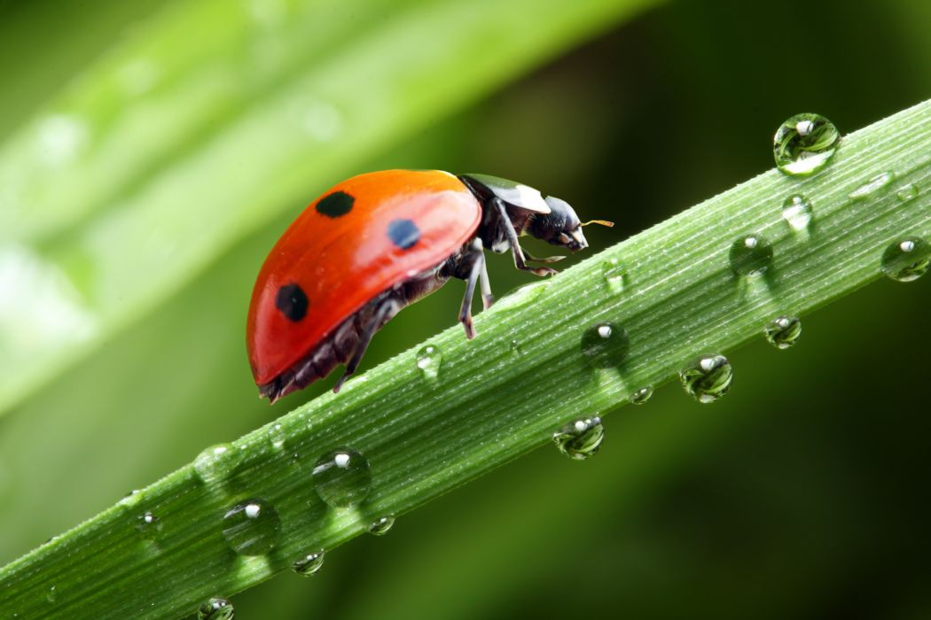 Ladybugs Closeup Drops Animals wallpapers wallpaper