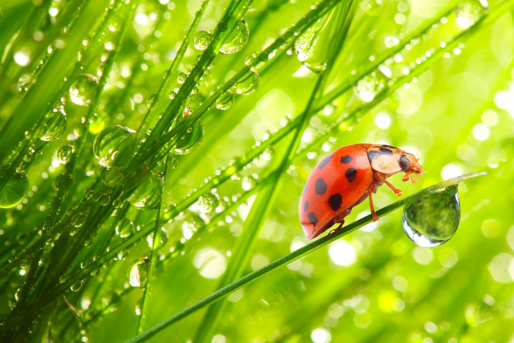 Ladybugs Drops Grass Animals wallpapers wallpaper