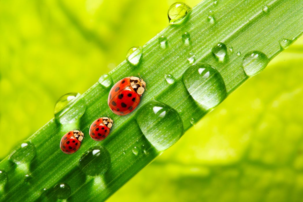Ladybugs Drops Three 3 Animals wallpapers s wallpaper