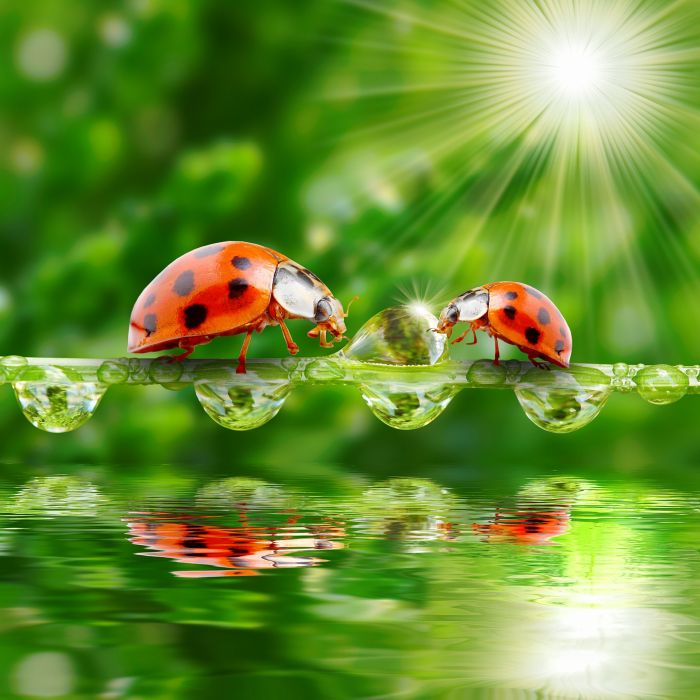 Ladybugs Water Drops Two Rays of light Animals wallpapers wallpaper
