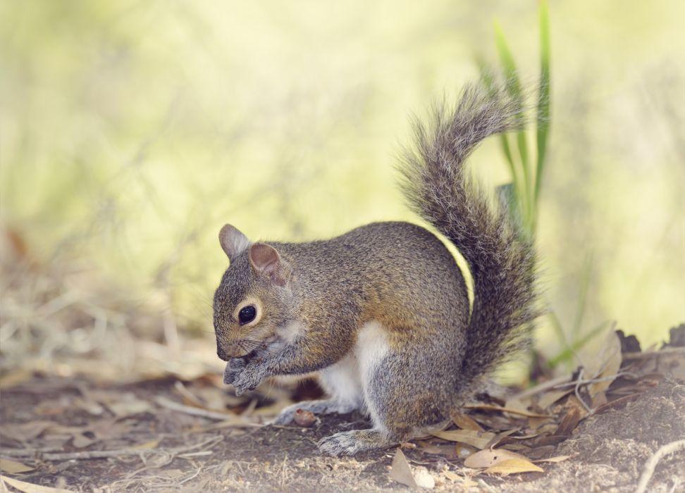 Squirrels Animals wallpapers wallpaper