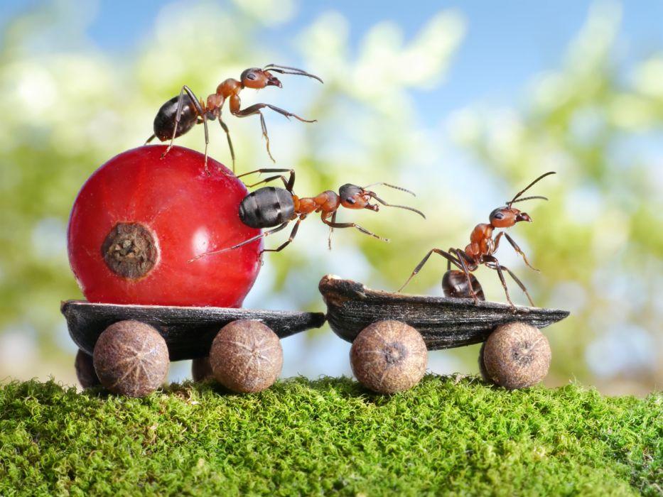 Ants Berry Closeup Currant Animals wallpapers wallpaper