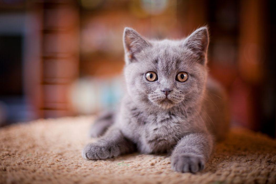 Cats Kittens Glance Grey Animals wallpapers wallpaper