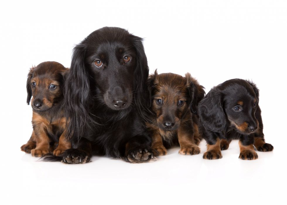Dogs Dachshund Puppy Animals wallpapers wallpaper