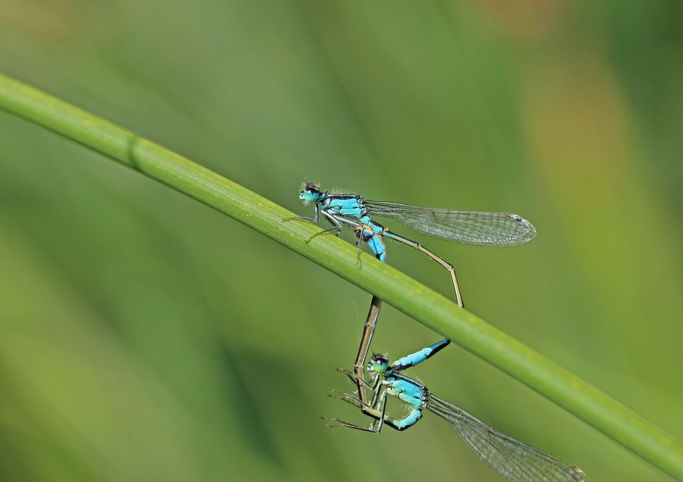 Dragonflies Two Animals wallpapers wallpaper