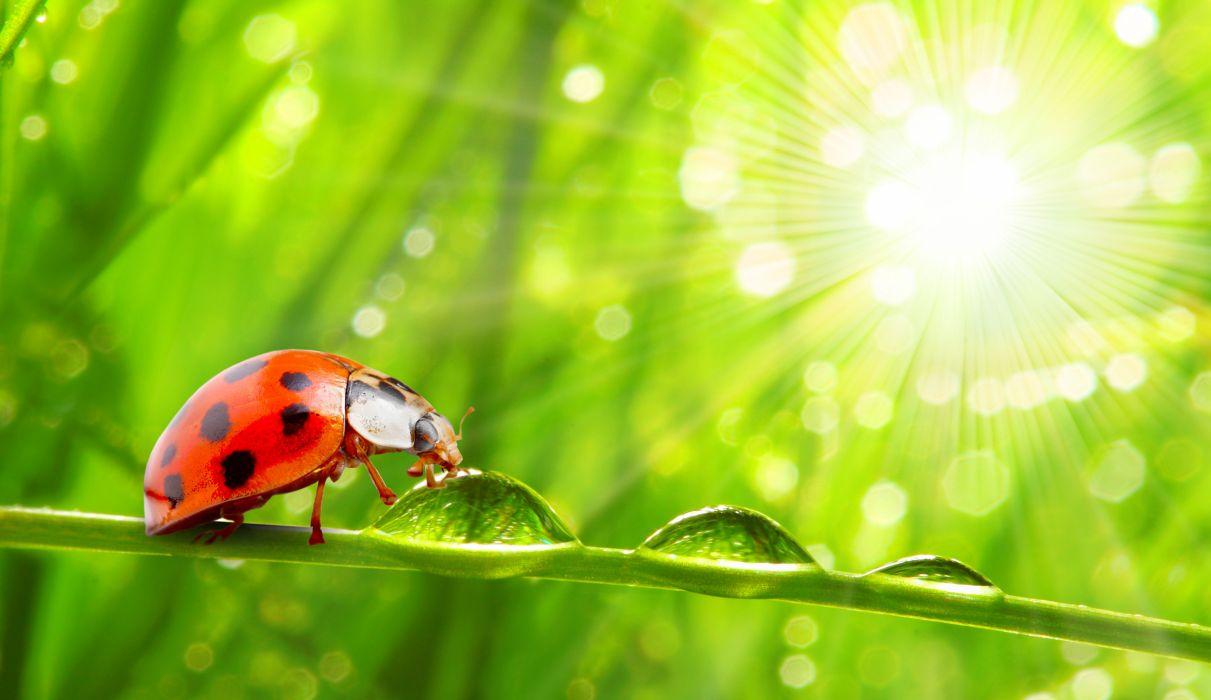 Ladybugs Closeup Drops Animals wallpapers h wallpaper