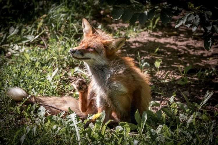 Foxes Animals wallpapers wallpaper