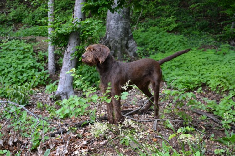 Dogs Pudelpointer Animals wallpapers wallpaper