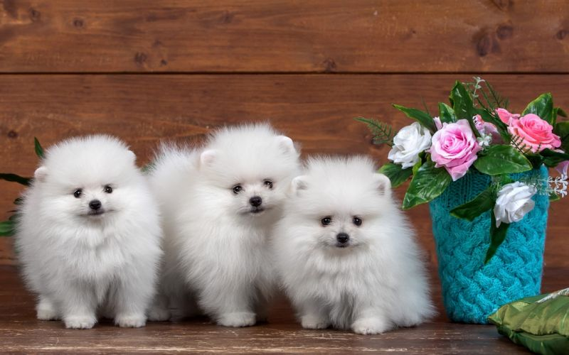 Dogs Three 3 Spitz White Puppy Animals wallpapers wallpaper