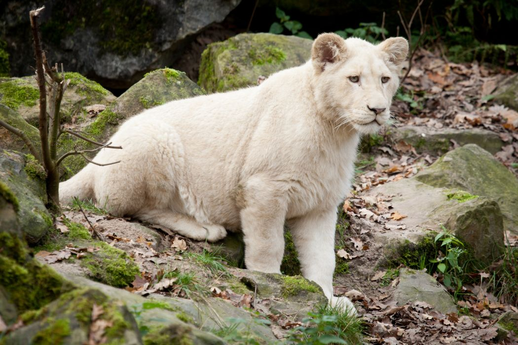 Lions Cubs White Animals wallpapers wallpaper