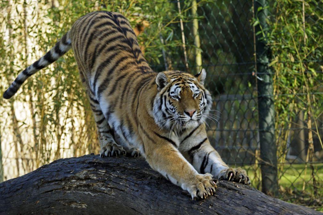 Tigers Animals wallpapers wallpaper