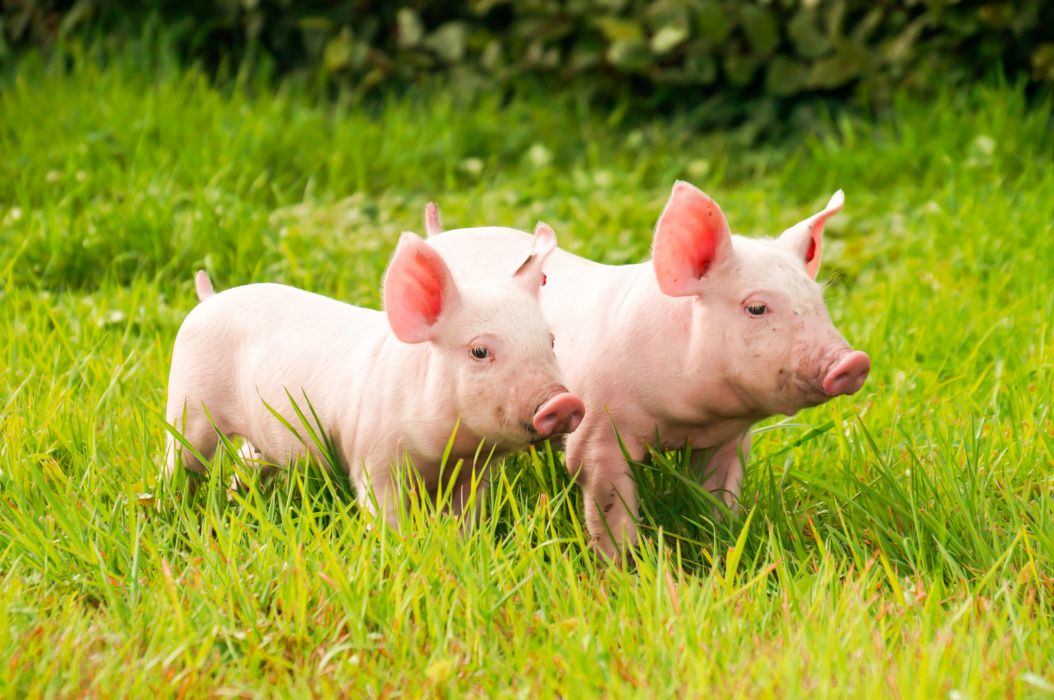 Domestic pig Grass Two Animals wallpapers wallpaper