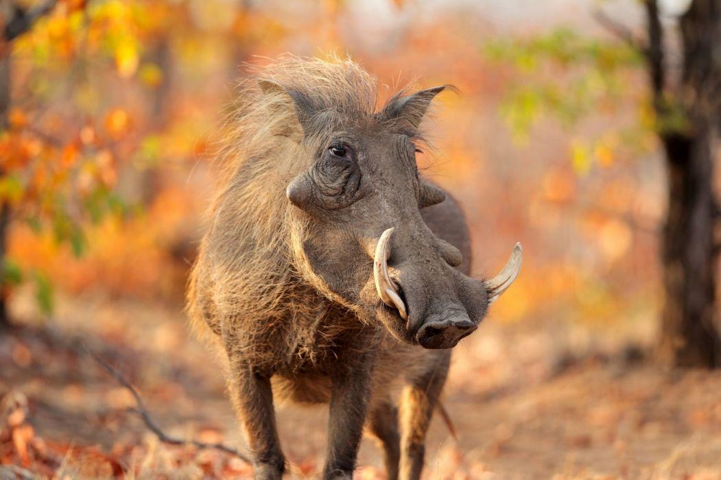 Artiodactyl Warthog Animals wallpapers wallpaper