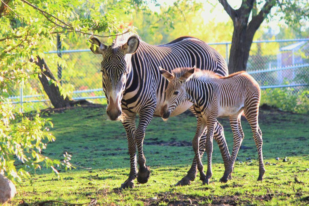 Artiodactyl Cubs Zebras Two Animals wallpapers wallpaper