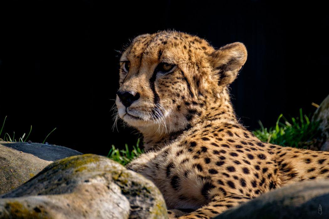 Big cats Leopards Snout Animals cheetah wallpaper