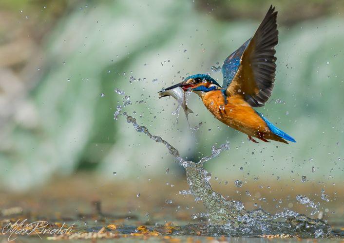 Birds Common Kingfisher Spray Animals wallpapers wallpaper