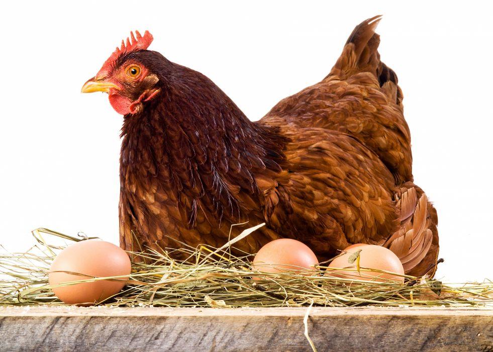 Birds Chicken Eggs Animals wallpapers wallpaper