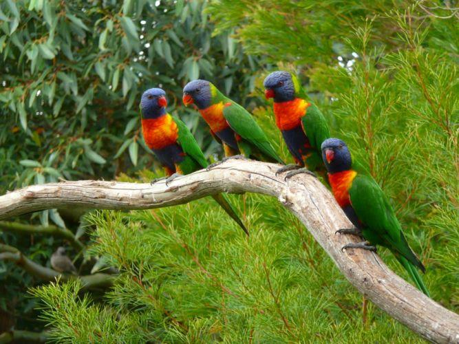 Birds Parrots Branches Animals wallpapers wallpaper