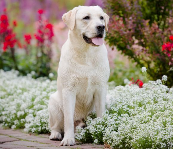 Dogs Retriever White golden retriever Animals wallpapers wallpaper