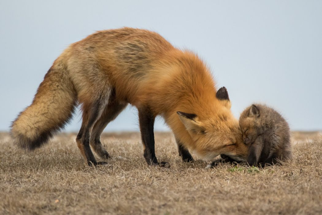 Foxes Cubs Two Animals wallpapers wallpaper