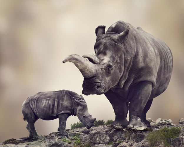 Rhinoceroses Cubs Two Animals wallpapers wallpaper