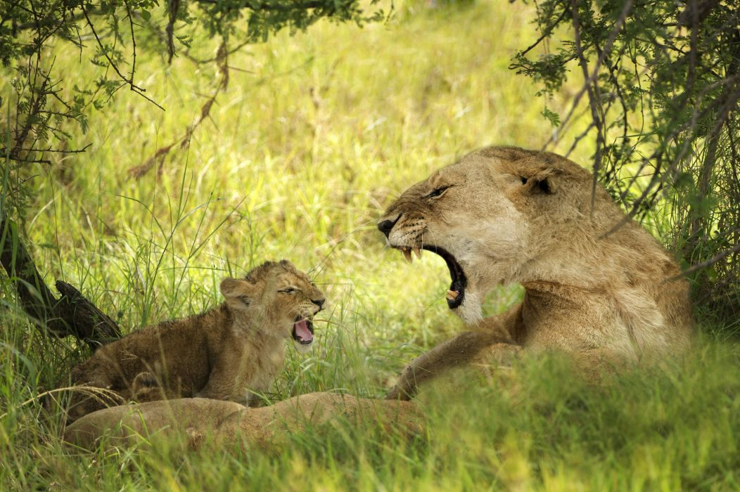 Lions Cubs Two Animals wallpapers wallpaper