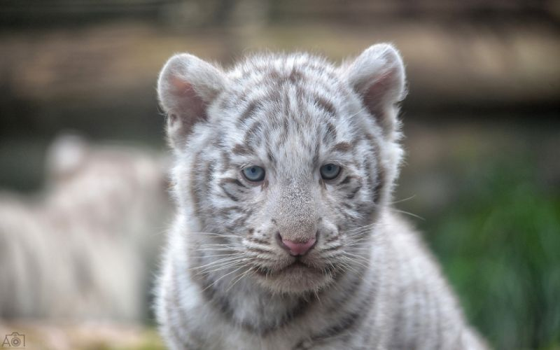 Tigers Cubs White Glance Animals wallpapers wallpaper