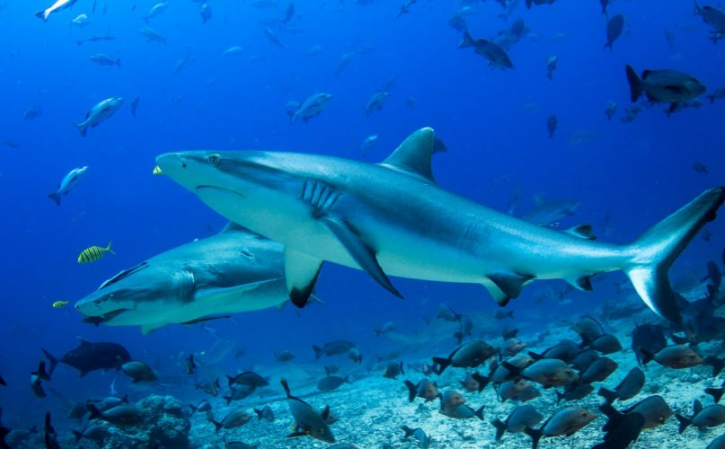 Underwater world Sharks Animals wallpapers wallpaper