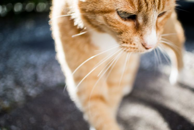 Cats Whiskers Ginger color Animals wallpapers wallpaper