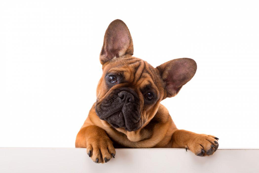 Dogs Bulldog Glance Animals wallpapers wallpaper