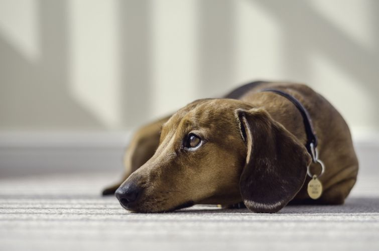 Dogs Dachshund Animals wallpapers wallpaper