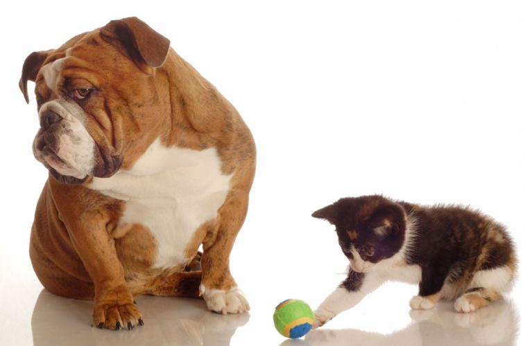 Dogs Cats Bulldog Kittens Two Ball Animals wallpapers wallpaper