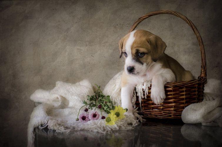 Dogs Puppy Wicker basket Amstaff Animals wallpapers wallpaper