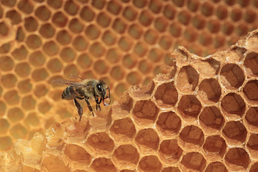 Bees Animals wallpapers wallpaper