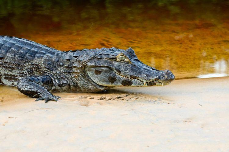 Crocodiles Animals wallpapers wallpaper
