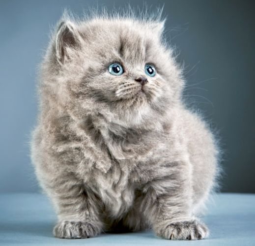 Cats Kittens Glance Grey Fluffy Animals wallpapers wallpaper