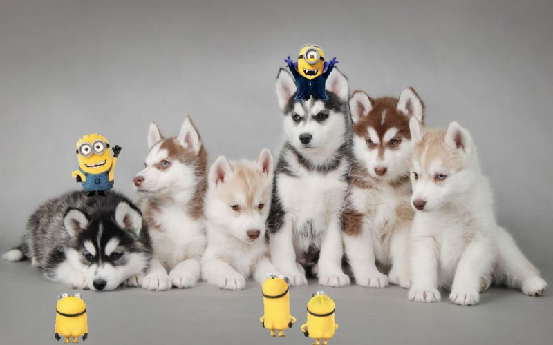 Animals dogs husky and minions 1920x1200 wallpaper