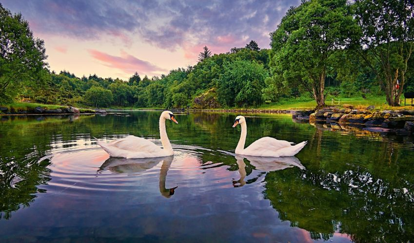 Norway lake trees swans landscape wallpaper