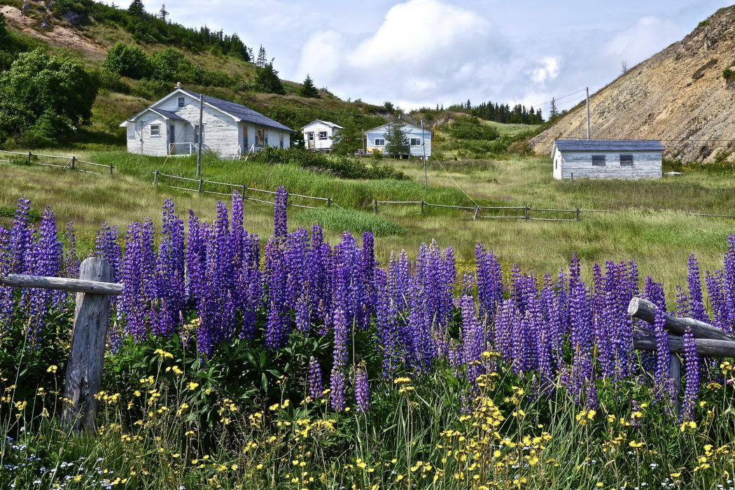 Canada Lupinus Houses Grass Port Rexton Nature wallpapers wallpaper