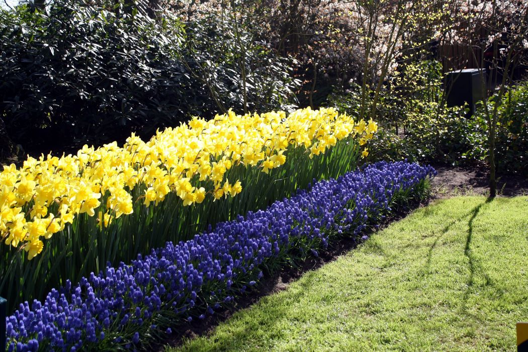 Netherlands Parks Hyacinths Daffodils Keukenhof Gardens Nature wallpapers wallpaper