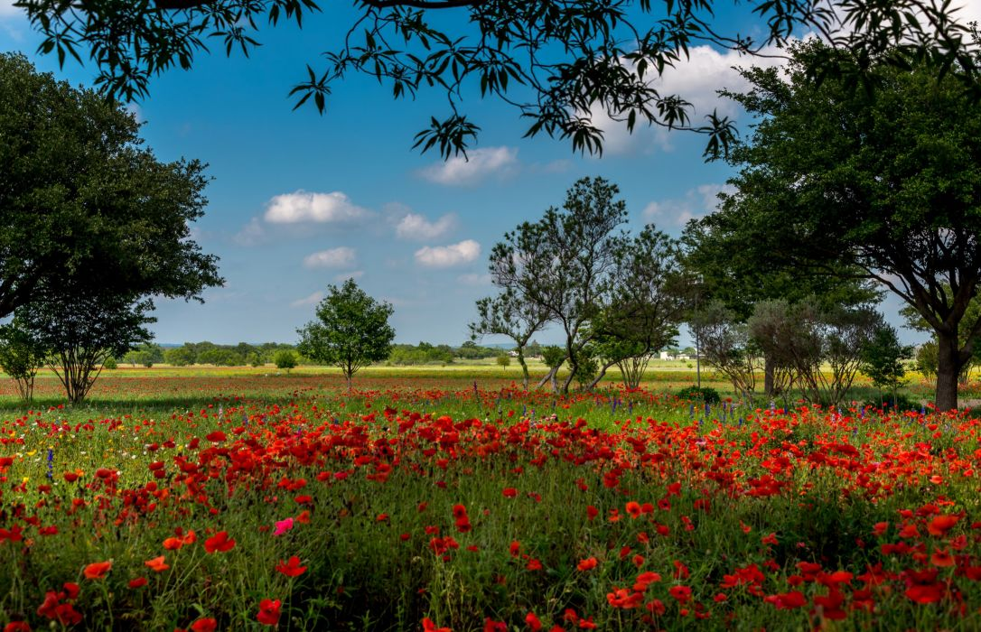 USA Summer Fields Poppies Trees Texas Austin Nature wallpapers wallpaper